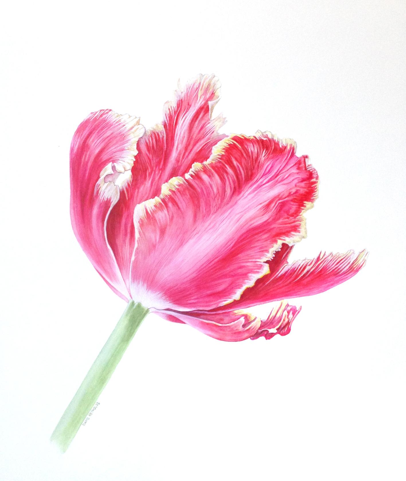 Tulipa 'Lucky Parrot'