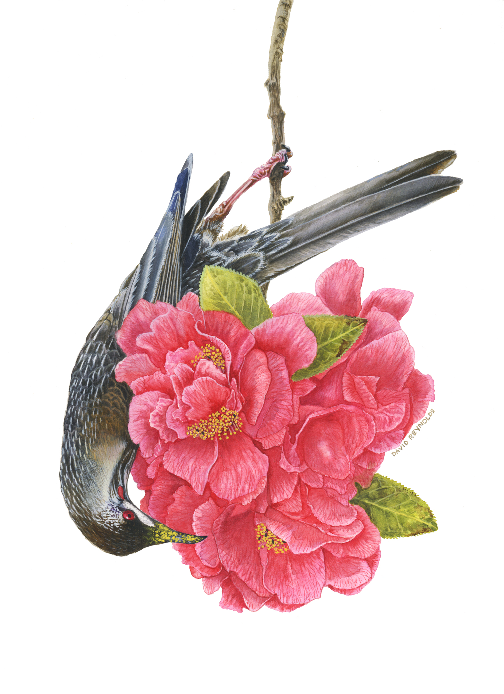 Red Wattlebird in a Camelia