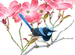 Blue Wren in Dogwood.jpg