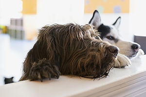 İki köpek