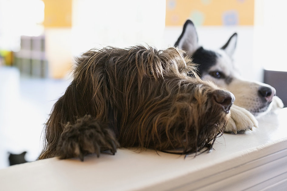 Husky and shaggy long-haired black dog resting heads on countertop