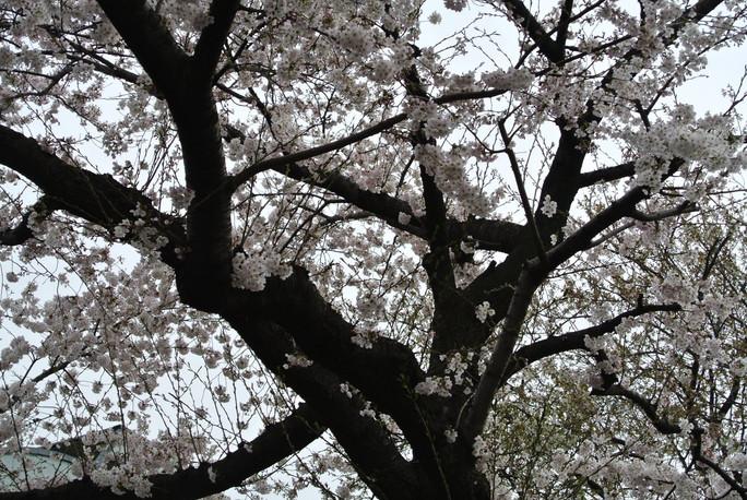 桜の満開の下で