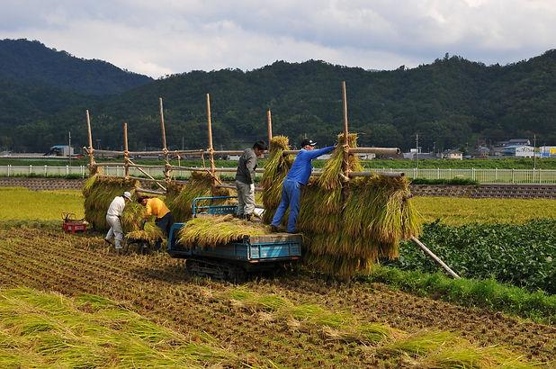 rice+harvesting.jpg