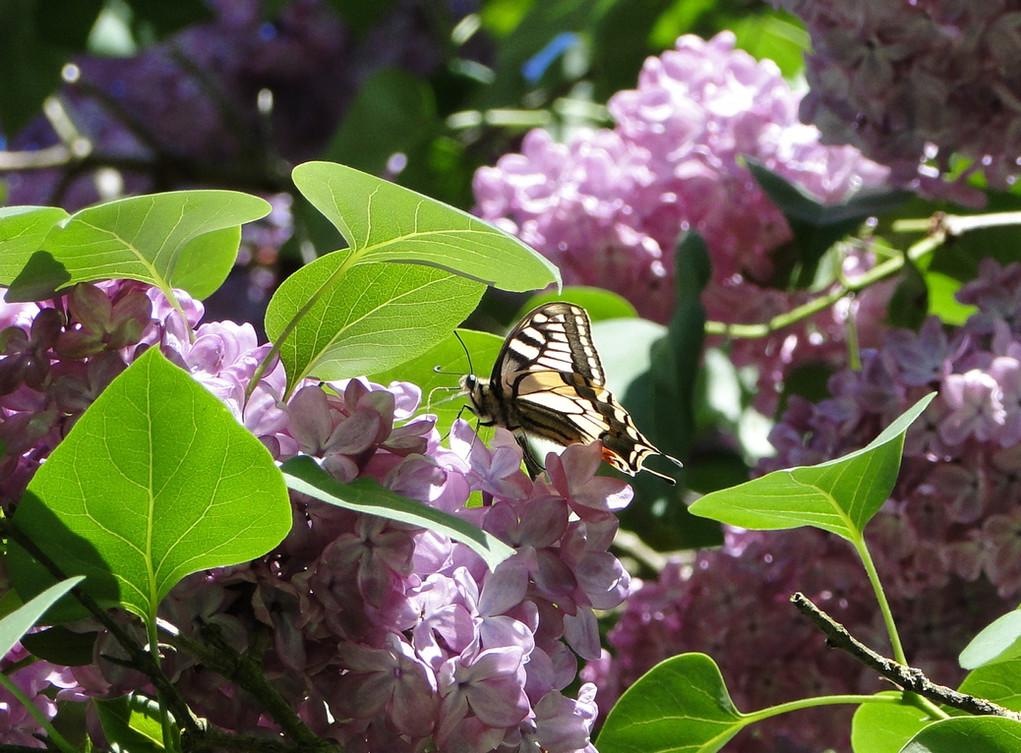 papillon sur lilas.JPG