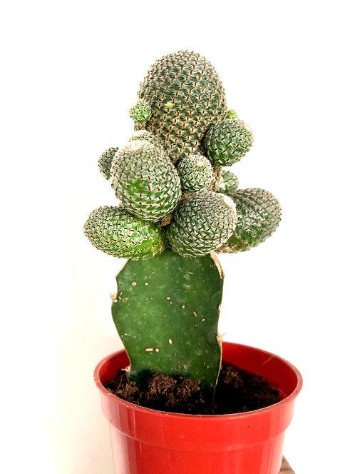 Geometric Graft Cactus