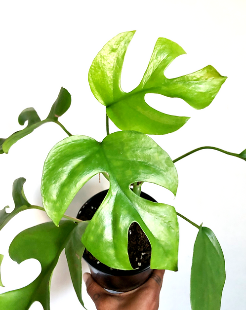 Raphidophora Tetrasperma