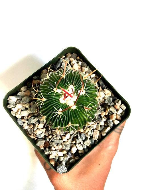 Stenocactus multicostatus 'wave' cactus
