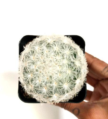 Mammillaria Plumosa