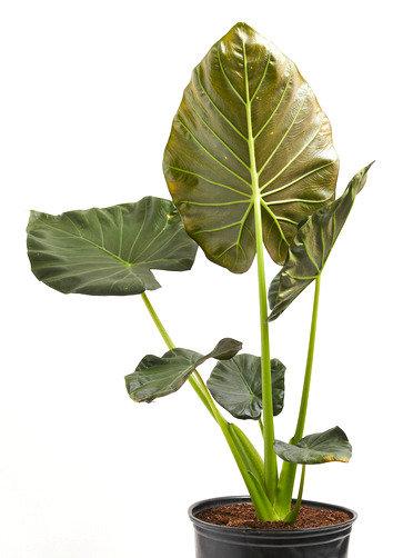 Alocasia Regal Shield