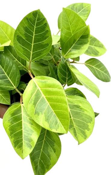 Ficus altissima 'yellow gem'