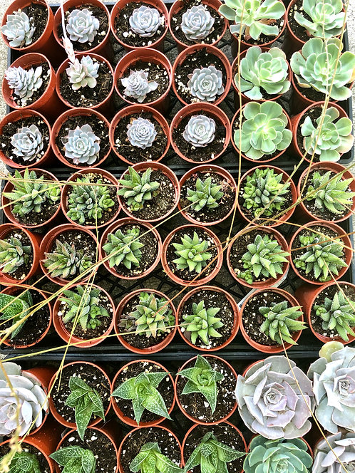 "3"" assorted succulents pack"