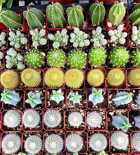 """2"""" cacti assortment"""