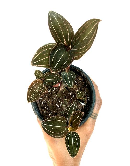 Lusidia Discolor 'jewel orchid'