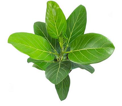Ficus Audrey