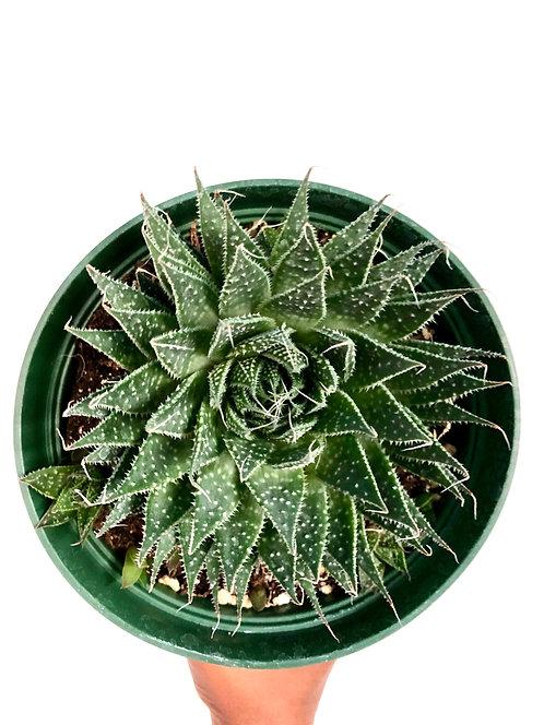 Aloe Aristata 'Lace Aloe'