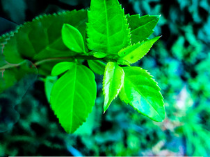 A New Green Leaf