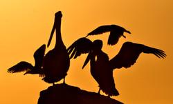 pelicanos contraluz