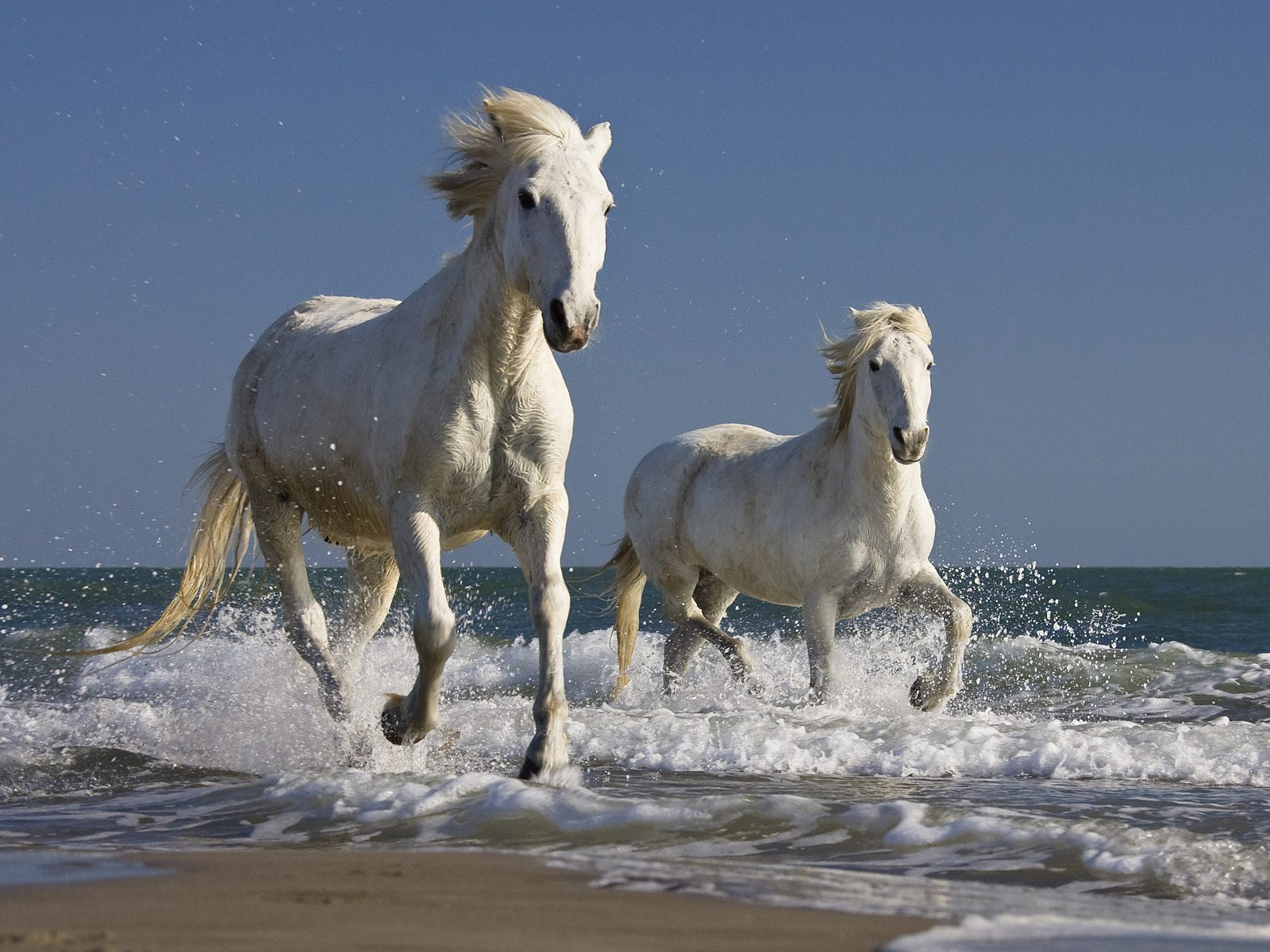 white running horses wallpaper.jpg
