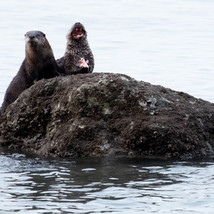 River Otters snacking