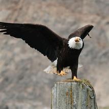Bald Eagle on Pacific Coast