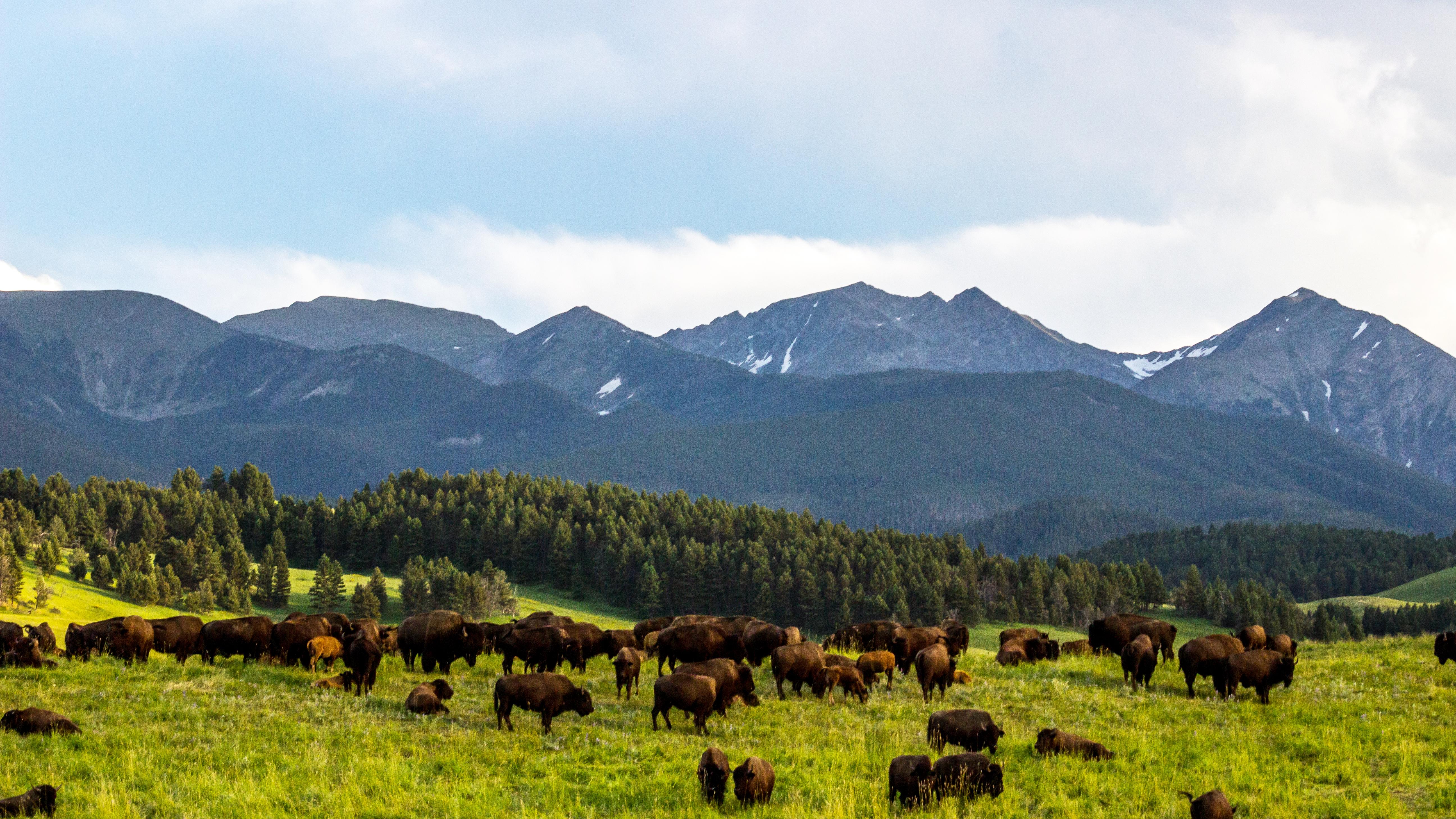 …Spanish-Peaks Buffalo-Stampede!…