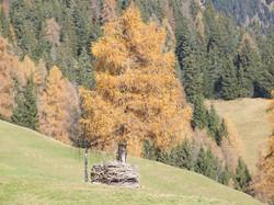 Laerche im Herbst