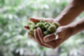 Cannabis inclusion pic.jpg