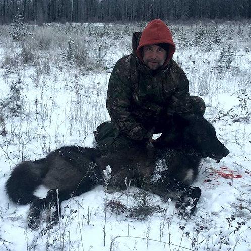 Alberta Timber Wolf Hunt