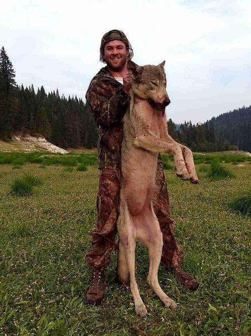 Idaho Grey Wolf Hunt