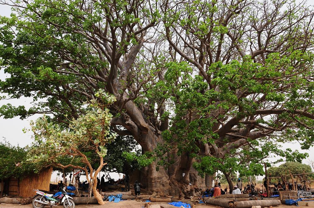 heilige baobab in de buurt van Joal Fadiouth (Senegal)