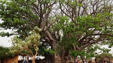 Over baobabs, hun heiligheid en maatschappelijk nut