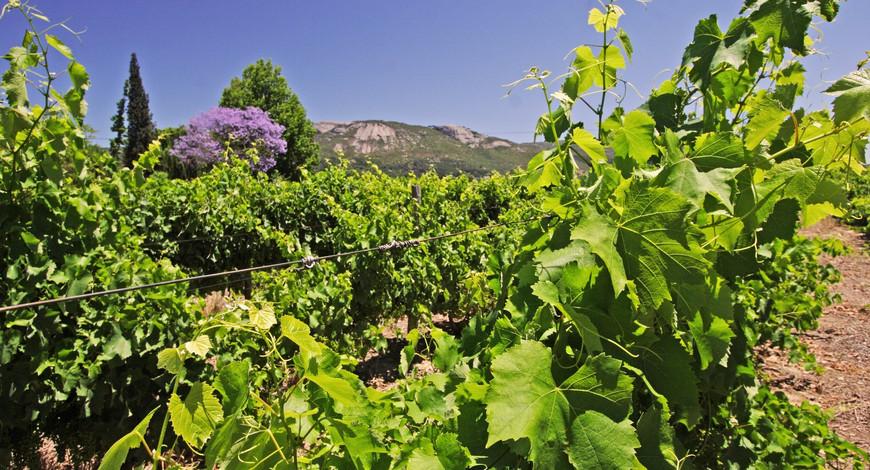 Vineyard Paarl 1_08.jpg