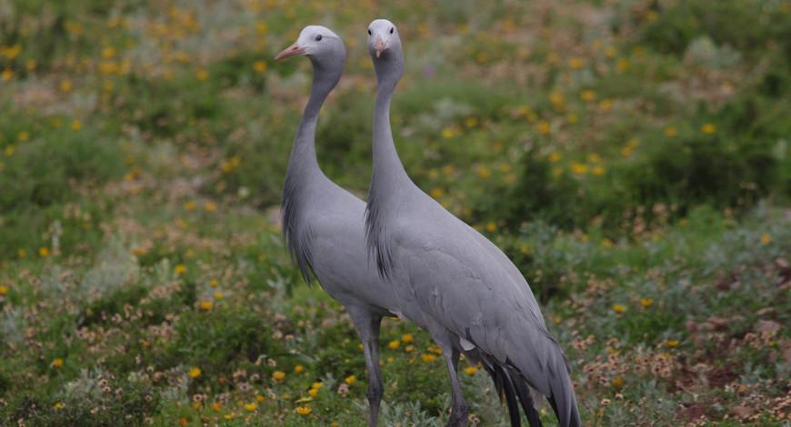 Blue Cranes Buffelsdrift 1_06c.jpg