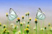 butterflies-1127666_960_720.webp