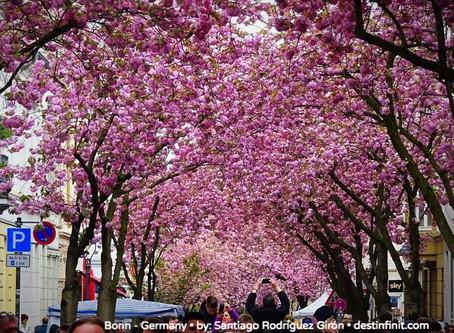 WALKING UNDER A PINK FLOWERED SKY • Bonn - Germany
