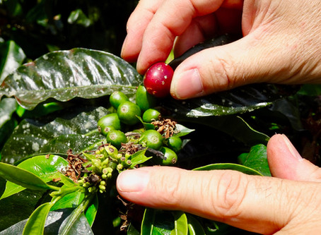 Gourmet coffee farm experience: from the seed to the mug!