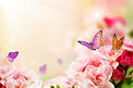butterfly-on-flowers_fyVh2FrO.jpg