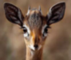 close-up-portrait-of-a-antelope-257558.j