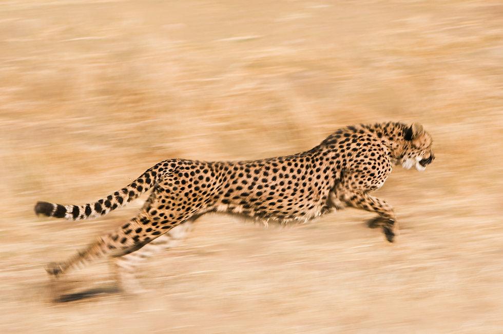 cheetah-running-across-the-plain-namibia