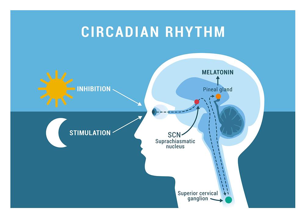 Circadian rhythm diagram