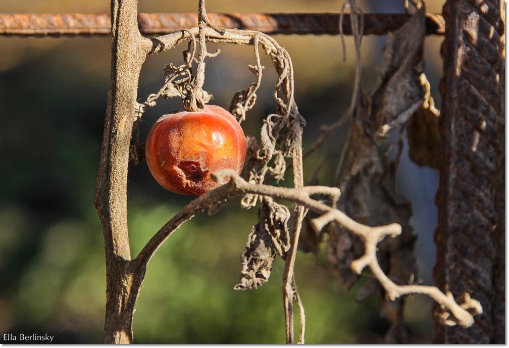 עגבניה.jpg