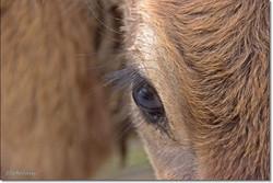 עין של פרה.jpg