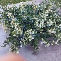 White Boxus