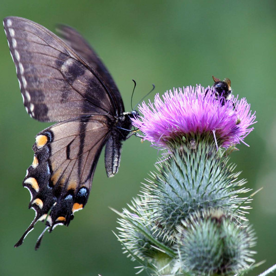 black-swallowtail-butterfly-with-bee.jpg