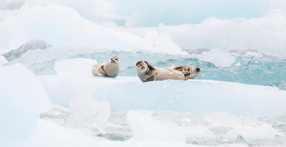 Seals on Iceberg Sawyer glacier