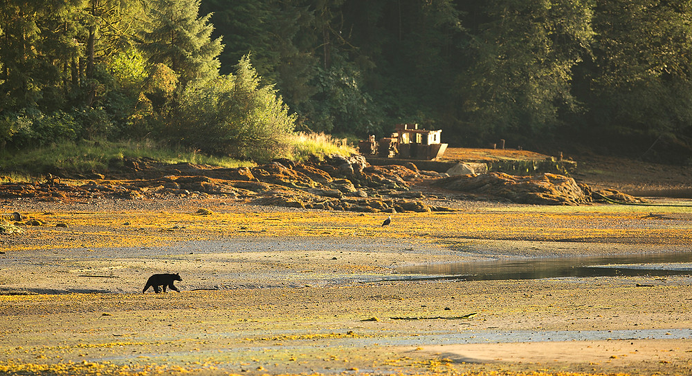 Black Bear Landscape, Neets Bay