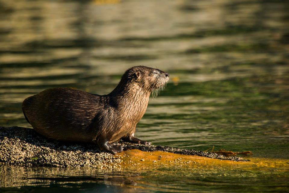 River Otter in Cameron Cove, British Columbia