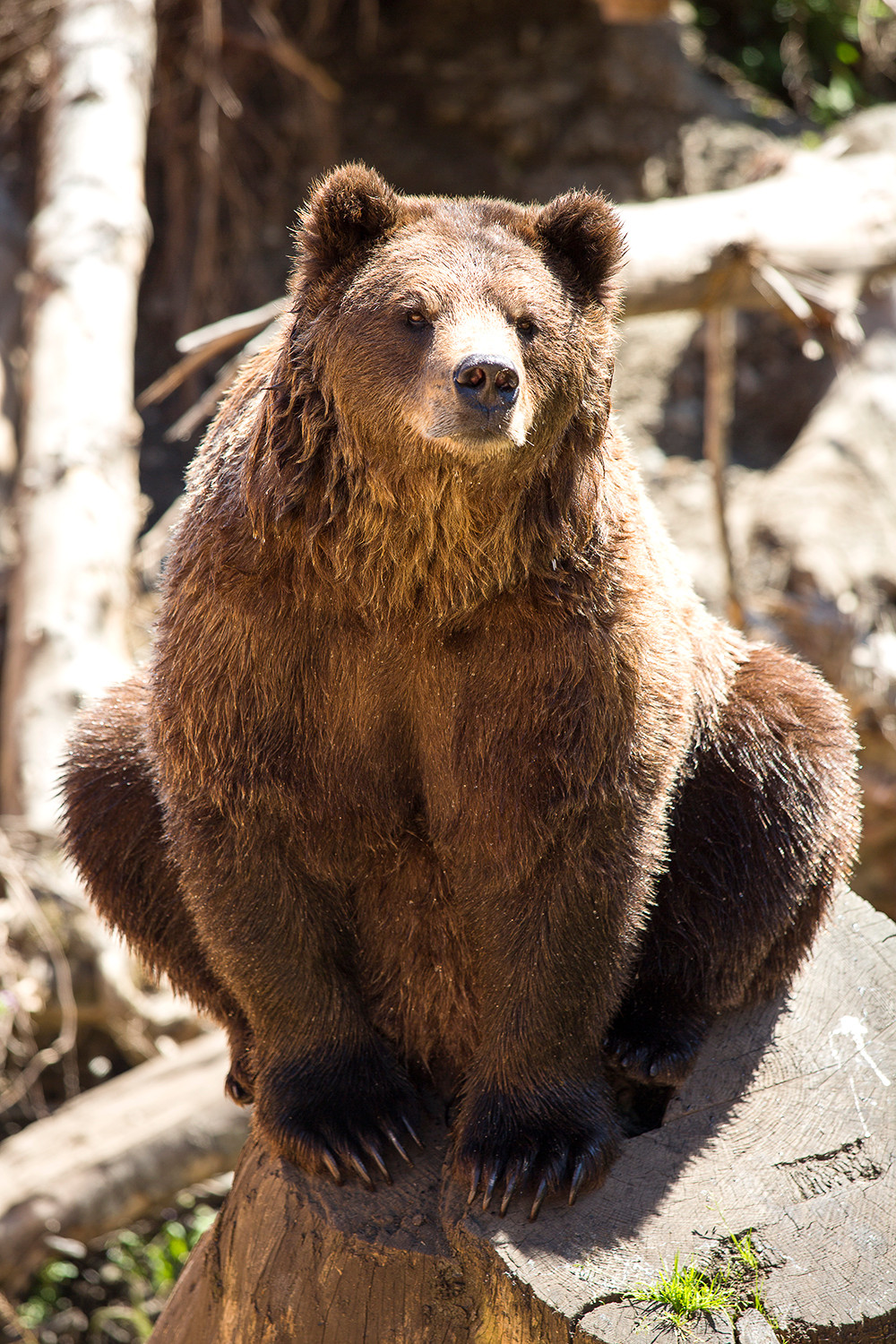 Fortress of the Bears Grizzly
