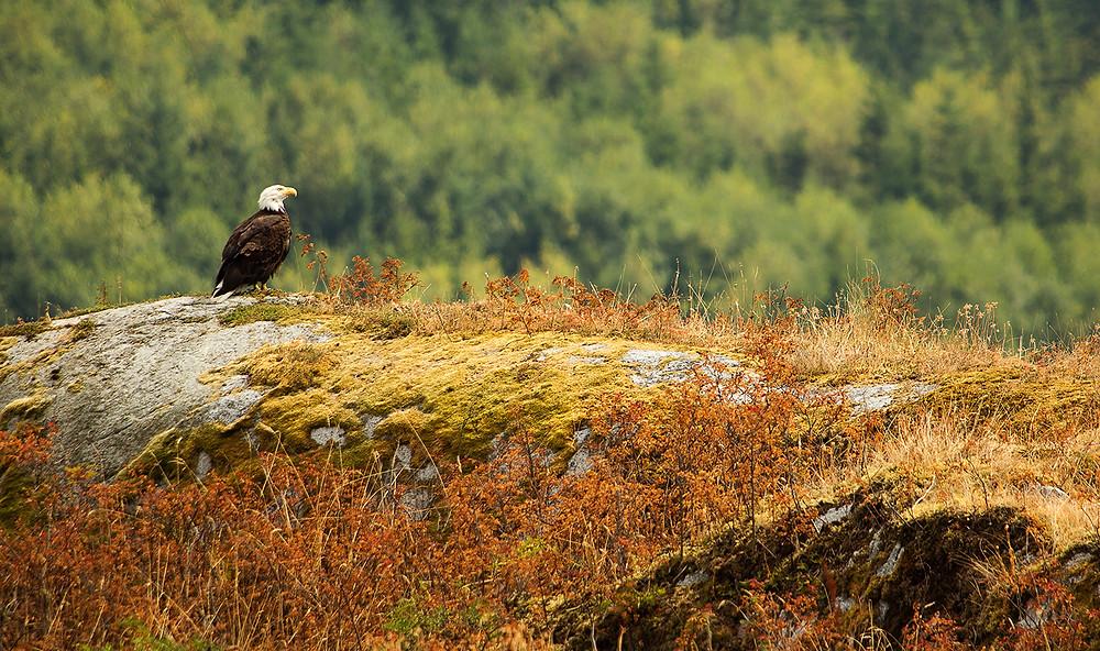 Bald Eagle Explore Dent island BC