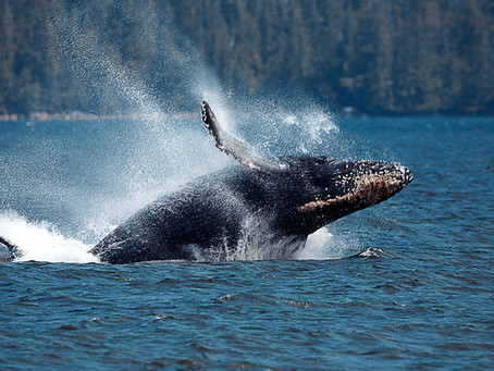 PORT HARDY - BREACHING WHALES & BALD EAGLES